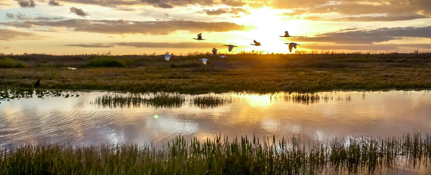flock of birds flying in the swamp at sunset